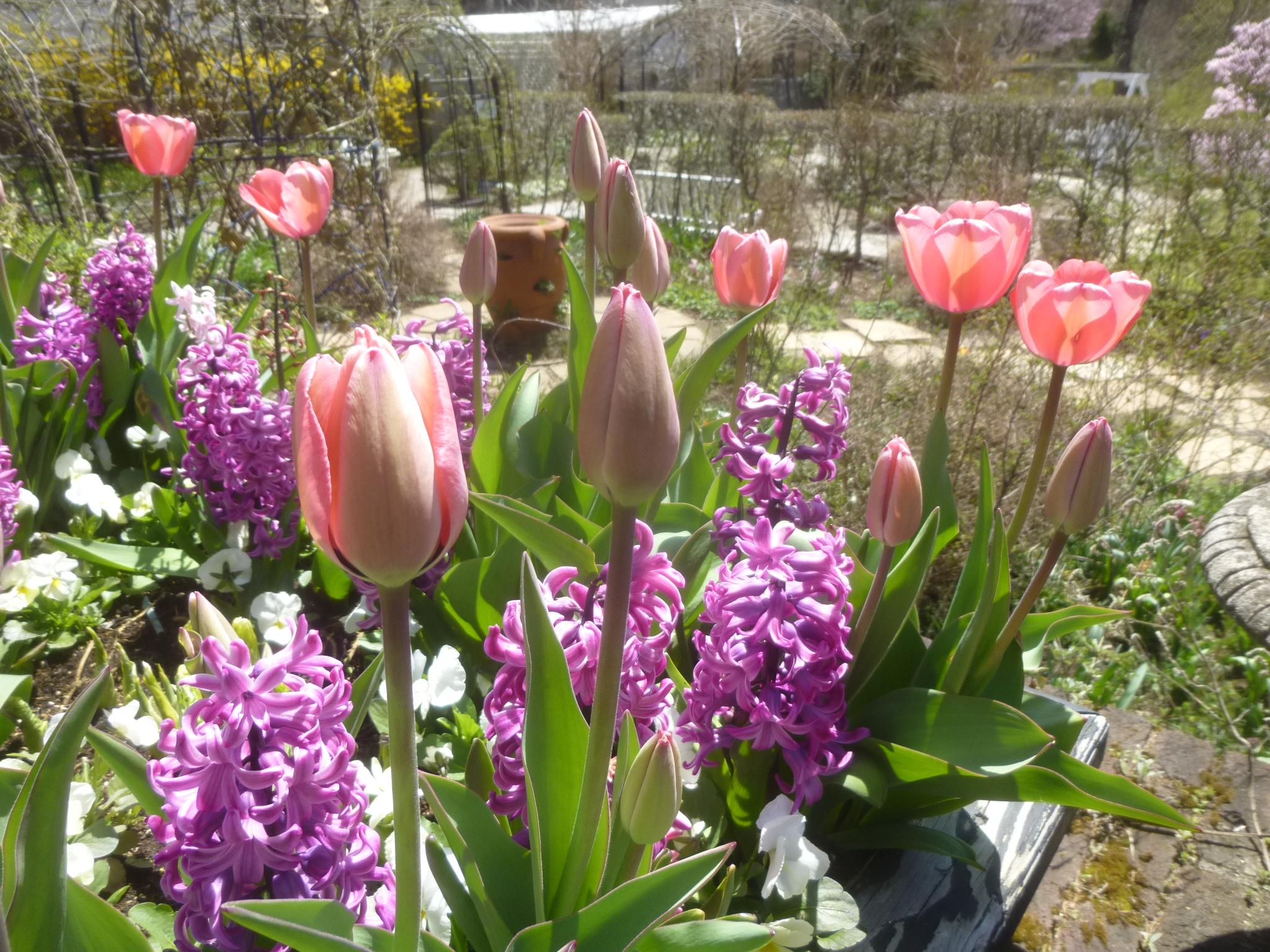 チューリップ(ピンク)とヒヤシンス(紫)の寄植え