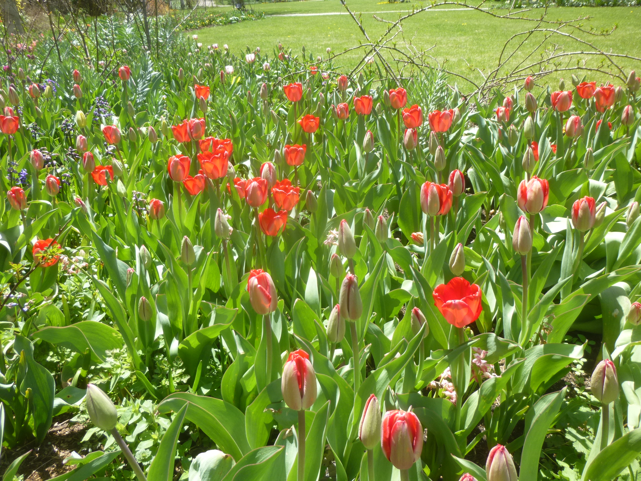 チューリップ(赤)咲き始め
