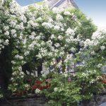 一年に一度。この季節だけの至福のひととき。~クラシックローズウィークス~ 6月22日から7月10日まで
