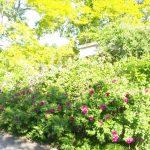 バラが咲きはじめました。庭園に咲くバラはガーデンセンターでお求めいただけます