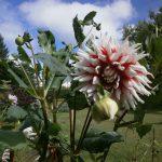 秋の主役花、ダリアが見ごろです。 9/1(木)~10/4(火)は、オータムダリアウィークス