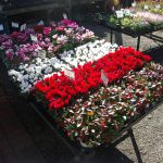 🎄植物入荷🎄大丸神戸校開催「寄植えの芸術展」用植物が蓼科バラクラに入荷!