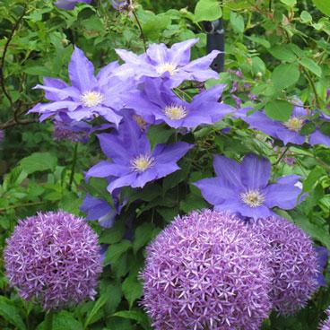 The sight of Allium