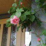 6月12日 今年のバラは元気です