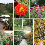 秋の彩を楽しむ10月のバラクラ ダリアが咲くガーデンでアフタヌーンティーを