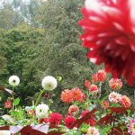 ダリアが美しい秋のガーデン ダリアガーデン