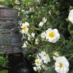 ランブリング レクターが美しく咲いています。
