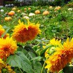 バラクラの収穫祭・ハーベストフェスティバル2015 開催まで1ケ月余り
