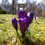 The  Crocuses in Bloom!
