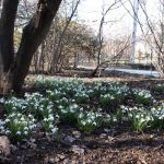 スノードロップが見頃です~クロッカスやスノーフレークが咲き始めました