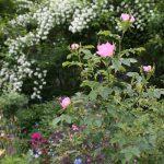ここ数日の陽気でバラの開花が進んでいます