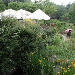 ヴァリエガータ・ディ・ボローニャやポールズ・ヒマラヤン・ムスクが咲き始めました