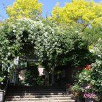 遅咲きのバラ キフツゲートが見事に咲き始めました