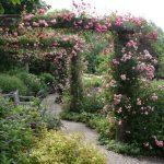 ピンクの花が滝のように咲くドロシー・パーキンス~アナベルも見頃です