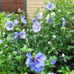 世界で一番青い ムクゲ  'Blue Satin'®(ブルーサテン)