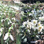 スノードロップが咲いたよ ガーデンに春が訪れる