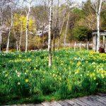 スプリングフラワーショー 球根花が開花しガーデンが輝く時