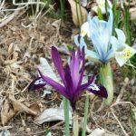 長野県民入園フリーデー 3/17~3/20 早春のガーデン、入園料無料です。