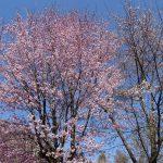 標高1,100mの 蓼科高原 バラクラ 桜情報