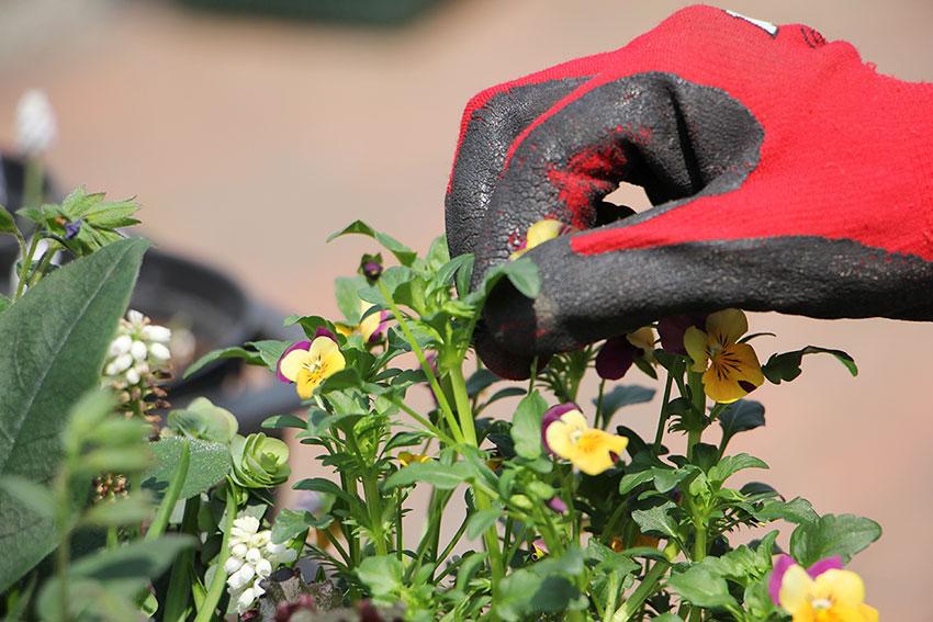 寄植えのメンテナンス2 花がら摘み