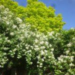 バラクラにオールドローズの季節がやってきます。【ローズウィークス 6/9(金)~7/17(月・祝)】