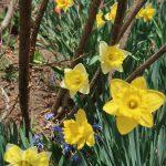春の陽射しと球根花