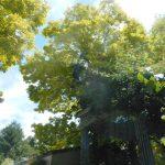 シンボルツリー、黄金アカシアの下で