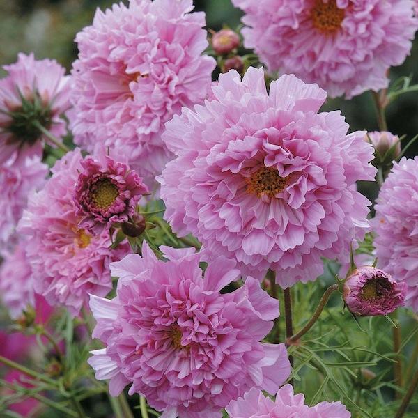 Cosmos bipinnatus 'Double Click Rose Bonbon'.jpg