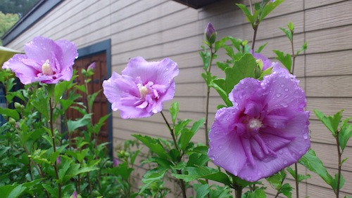 Lavender Chiffon.jpg